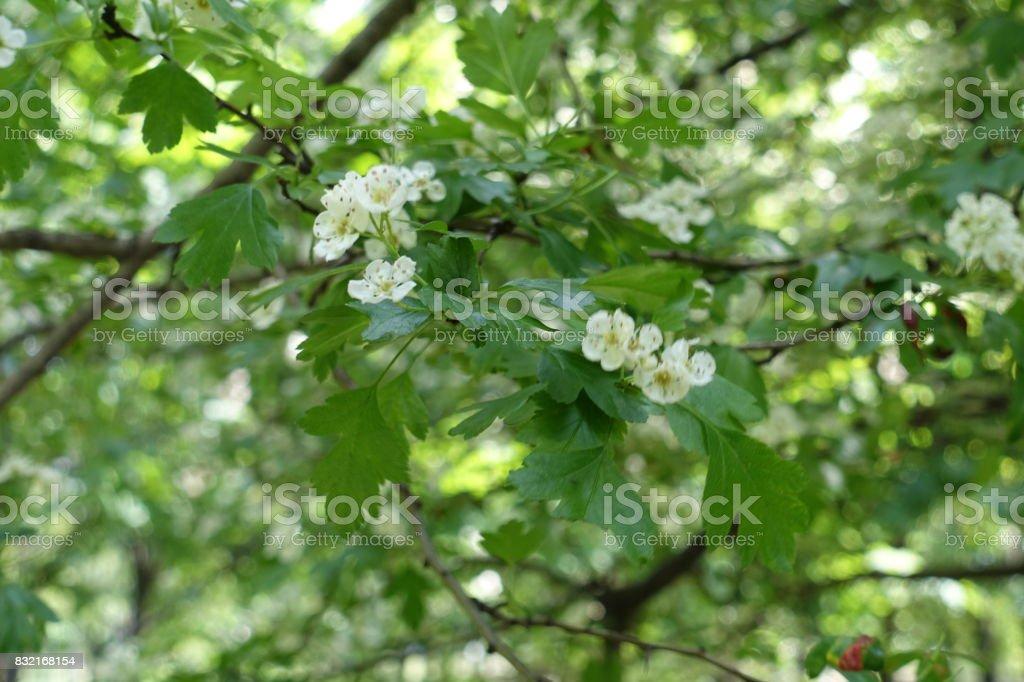 White flowers on branches of maythorn shrub stock photo