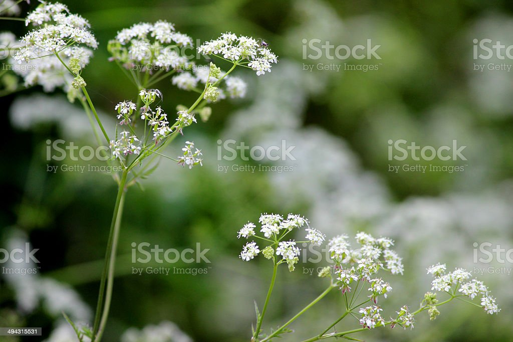 White flowers on cow parsley plant (wild chervil  Anthriscus sylvestris) royalty-free stock photo