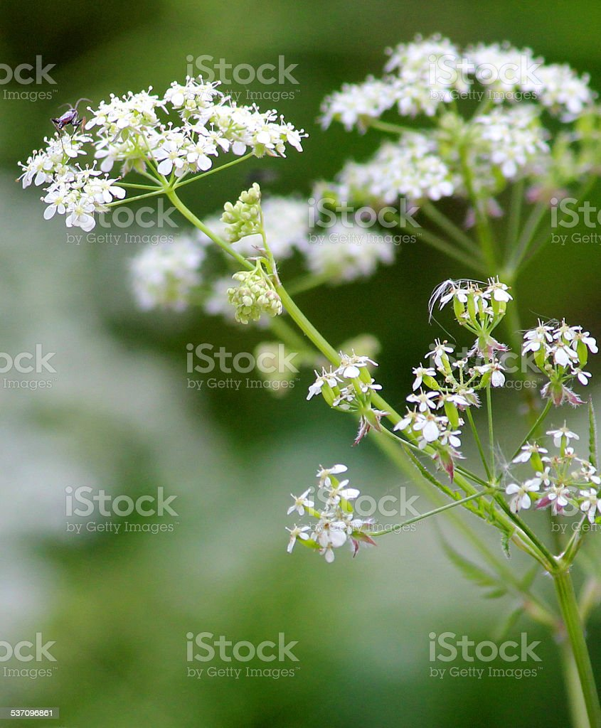 White flowers on cow parsley plant (wild chervil  Anthriscus sylvestris) stock photo