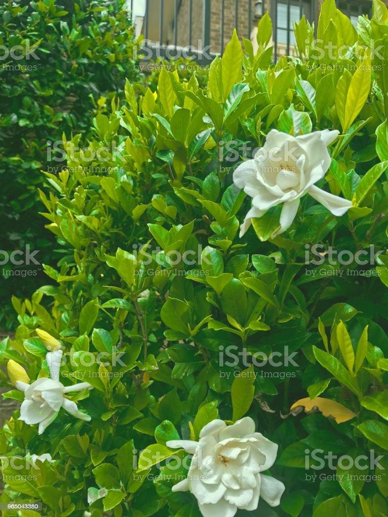 white flowers on green bush zbiór zdjęć royalty-free