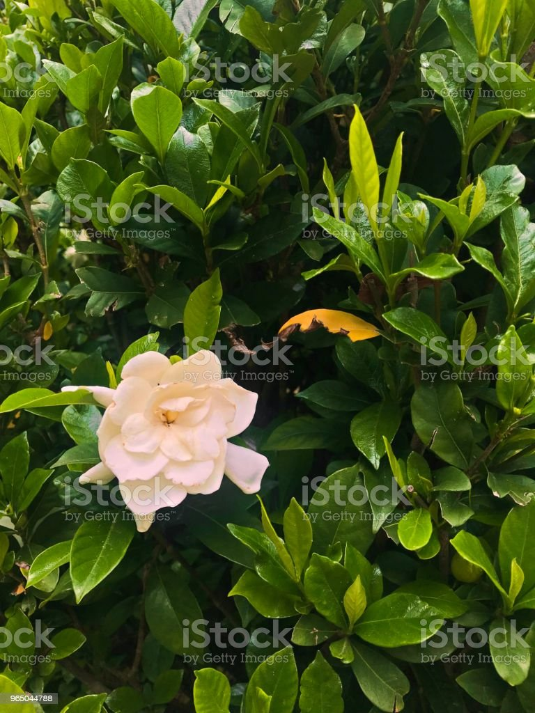 white flowers on green bush royalty-free stock photo
