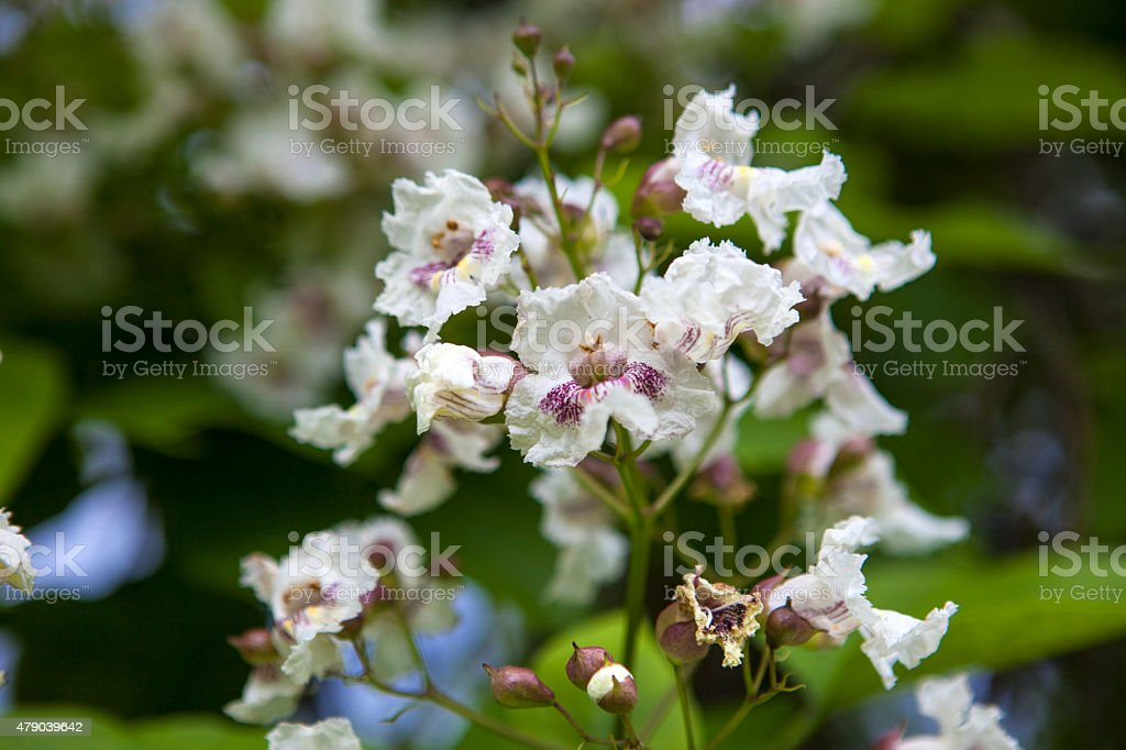 White flowers on Indian bean tree image stock photo