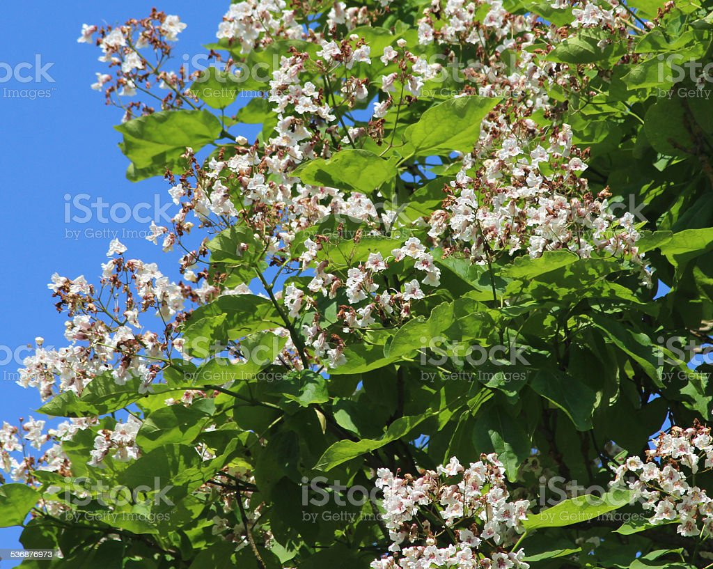 White flowers on Indian bean tree image (Latin: Catalpa bignonioides) stock photo