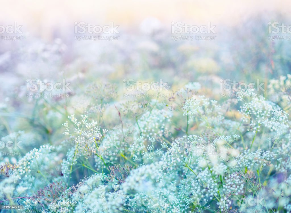 White flowers on meadow in pastel colors zbiór zdjęć royalty-free