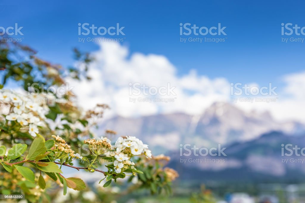 White flowers on mountains background in Alps royalty-free stock photo