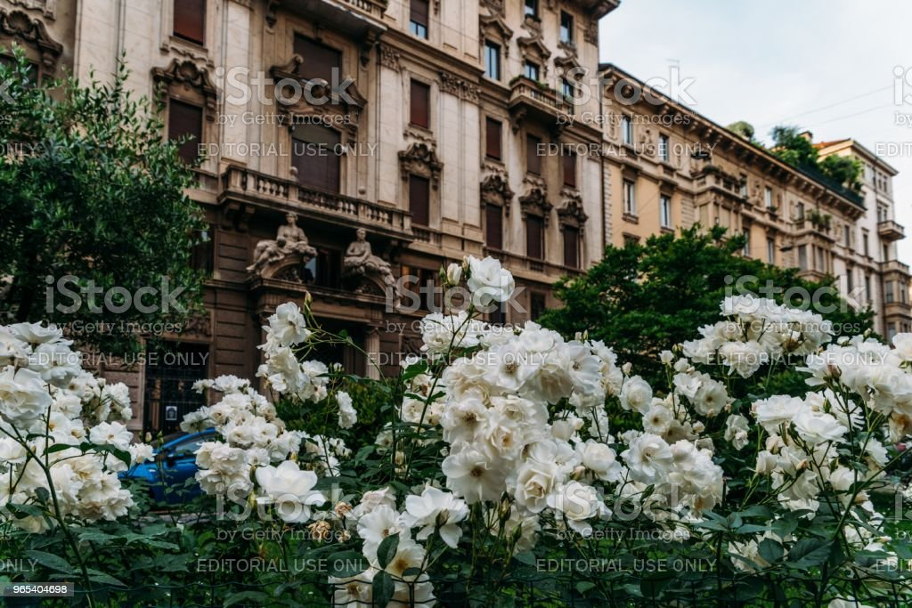 White flowers on the foreground of Art Nouveau architecture in Milan's Porta Venezia district, Lombardy, Italy zbiór zdjęć royalty-free