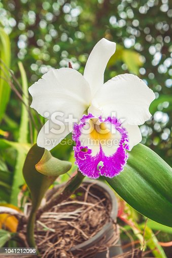 white flowers or cattaleya orchid flowers blooming in the nature garden background