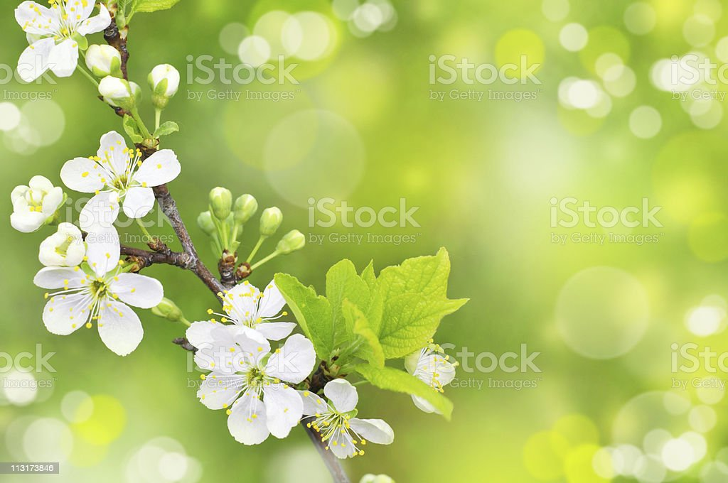 white flowers royalty-free stock photo