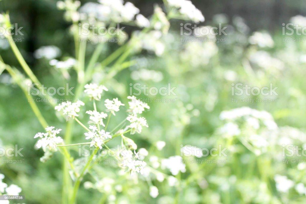 Witte bloemen - Royalty-free Blad Stockfoto