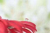White flowers reflected in the water drop of red gerbera petals