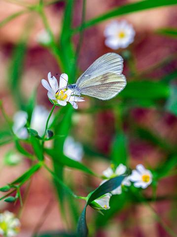 White Flowers Stellaria — стоковые фотографии и другие картинки Апрель