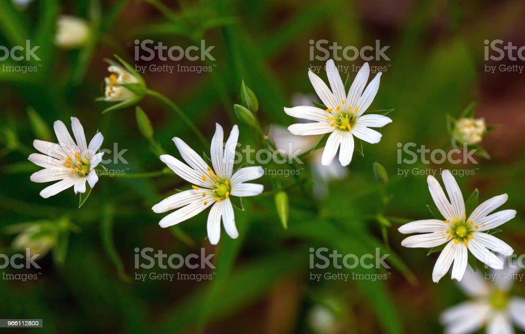 Vita blommor Stellaria - Royaltyfri April Bildbanksbilder