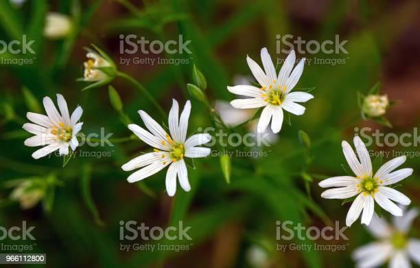 Vita Blommor Stellaria-foton och fler bilder på April
