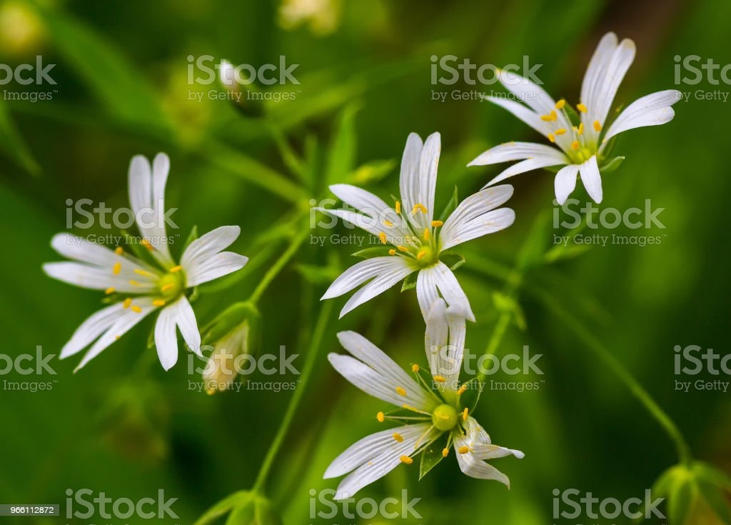White flowers Stellaria - Royalty-free Agricultural Field Stock Photo