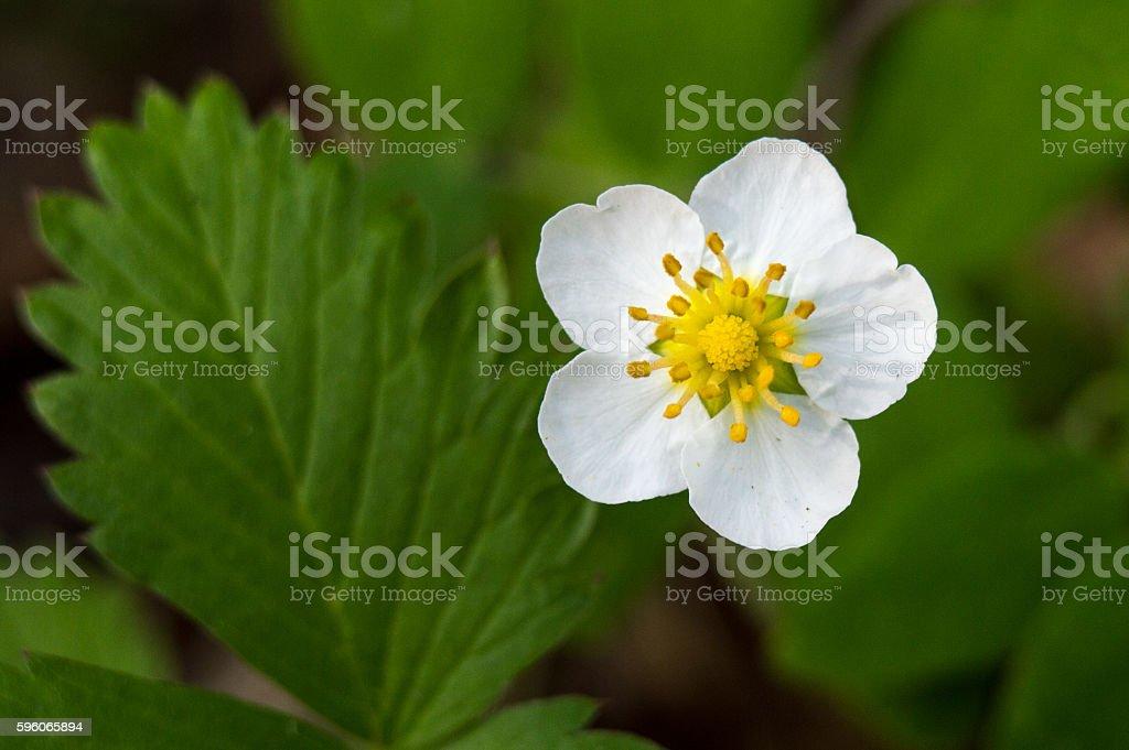 white flowers strawberry royalty-free stock photo