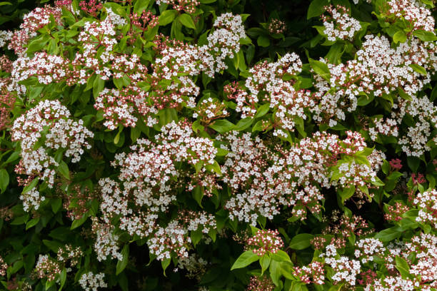 white flowers with pink buds of viburnum tinus blossoming intasmania, australia - evergreen plant stock photos and pictures