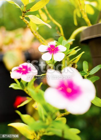White Flowers With Pink Center Stock Photo & More Pictures of ...