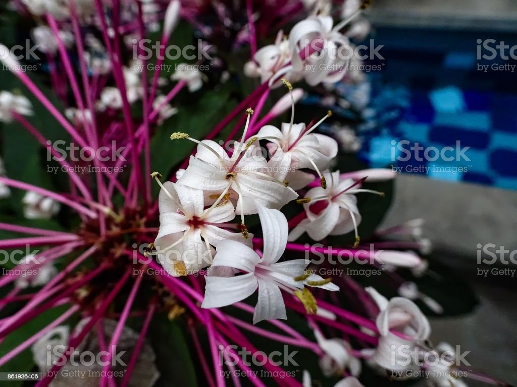 white flowers with pink stems stock photo