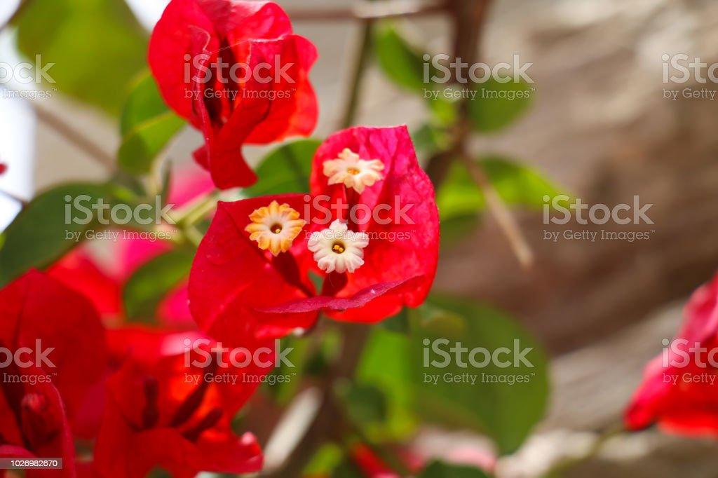 White flowers with red leaves stock photo more pictures of animal white flowers with red leaves royalty free stock photo mightylinksfo
