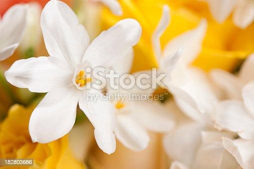 Jasmines on a flower background.