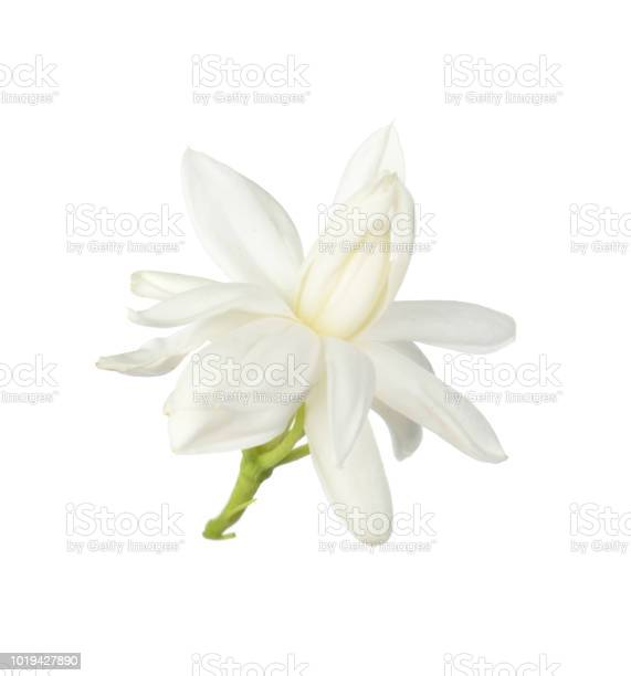 White flowerthai jasmine flower isolated on white background picture id1019427890?b=1&k=6&m=1019427890&s=612x612&h=2w4yupsacpffqg6c2cpega4vyvs8xs2mkzn4etg9bba=