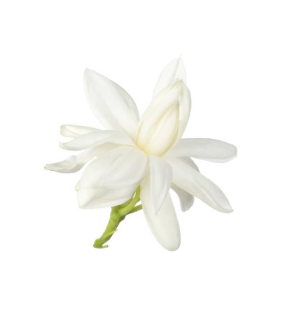 흰 꽃, 흰 배경에 고립 된 태국어 재 스민 꽃 - 재스민 뉴스 사진 이미지