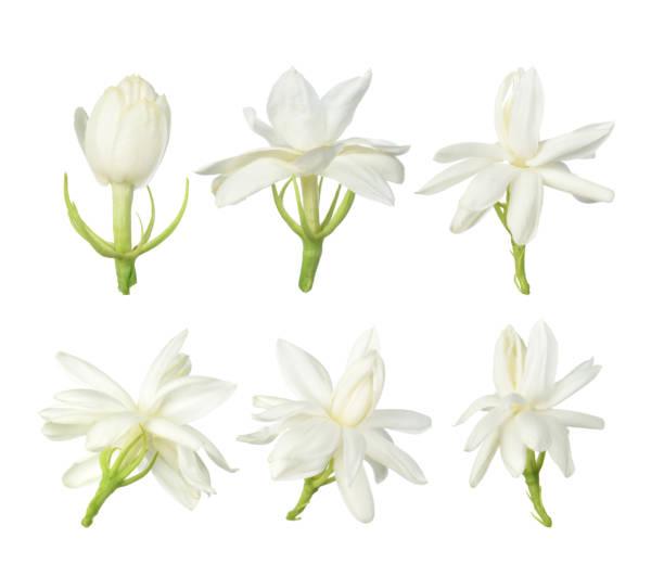 White flower,Thai jasmine flower isolated on white background White flower, Thai jasmine flower  isolated on white background. flower part stock pictures, royalty-free photos & images