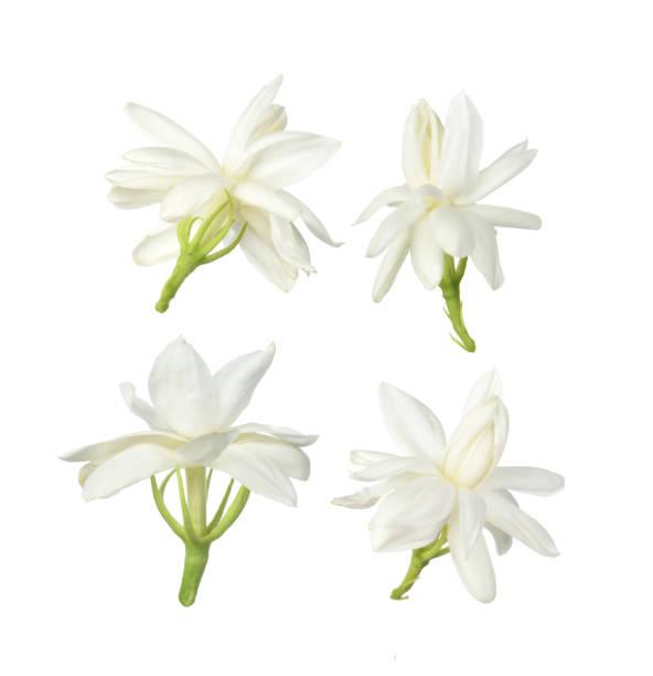 White flowerthai jasmine flower isolated on white background picture id1064445102?b=1&k=6&m=1064445102&s=612x612&w=0&h=wuwqhprtsp1qxpetq u0t9eyyy 8vh ehxj8ofv4nao=