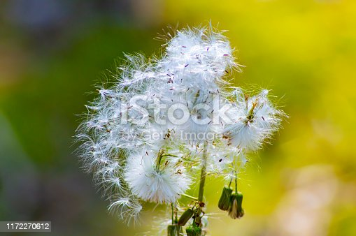 White fluff of wildflowers seeds. Macro photo. Natural background. Partly out of focus.