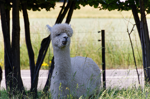 white fluffy alpaca stands in the shade in the high grass and shows his teeth, without people during the day, alpacas are funny animals