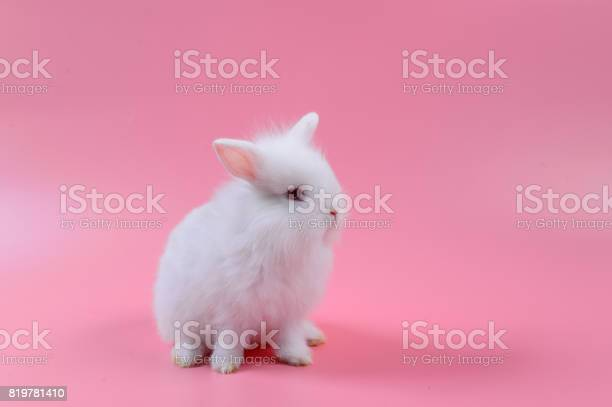 White fluffy bunny on pink background story for playboy rabbit can picture id819781410?b=1&k=6&m=819781410&s=612x612&h=jmcprkwprwv2efd18qt49sowmxxjldw1dxwskvwnqxq=