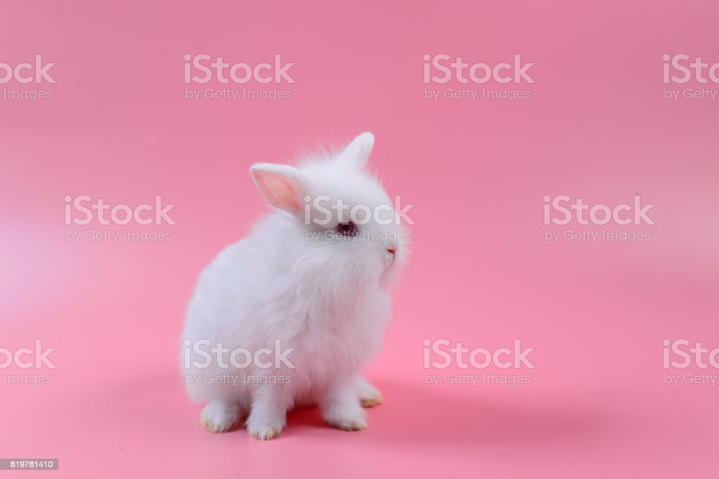 white fluffy bunny on pink background, story for playboy,  Rabbit can breed all the time. stock photo