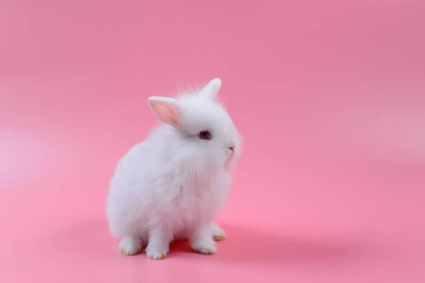 blanc lapin moelleux sur fond rose, histoire pour playboy, lapin peut se reproduire tout le temps. - Photo