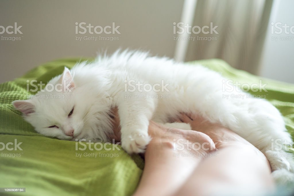 White fluffy cat lies at the feet of a girl – zdjęcie