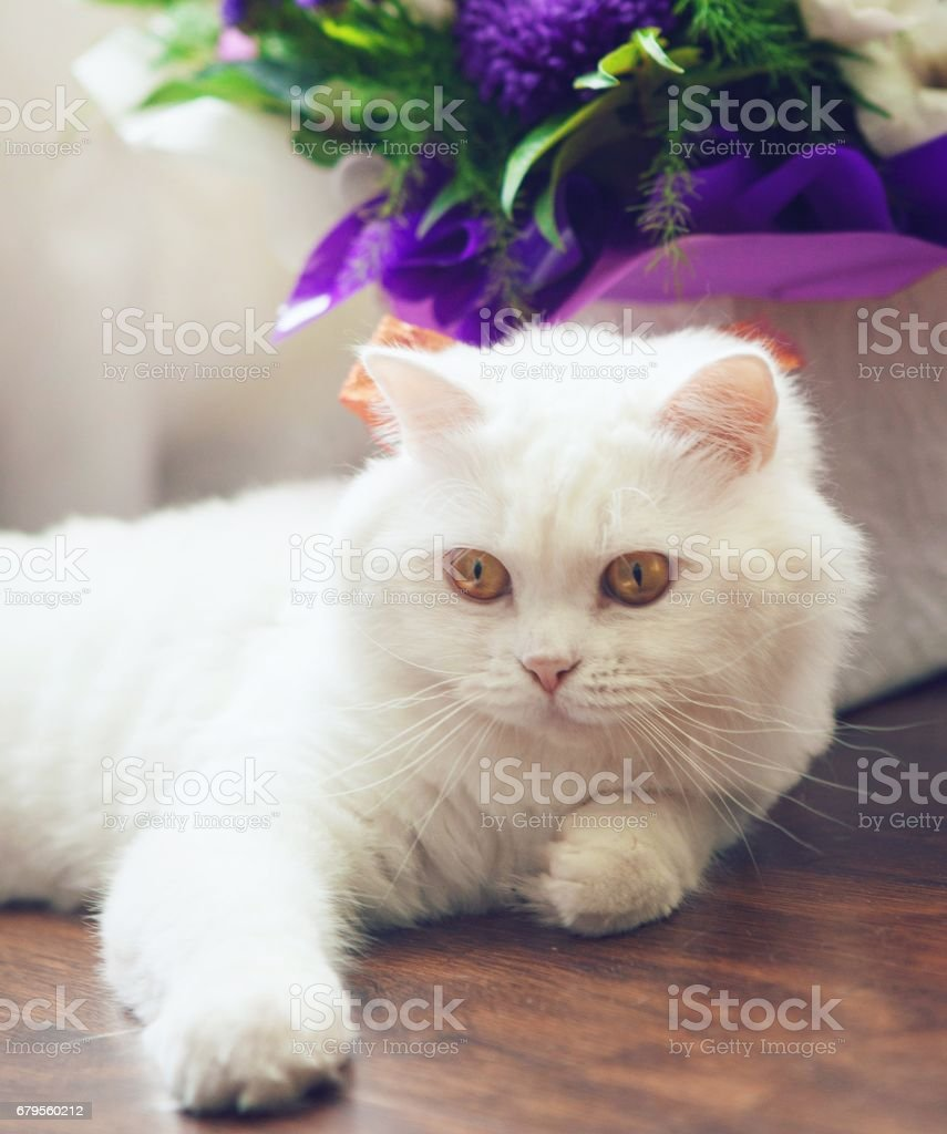 Gato esponjoso blanco escocés Highland Straight - foto de stock