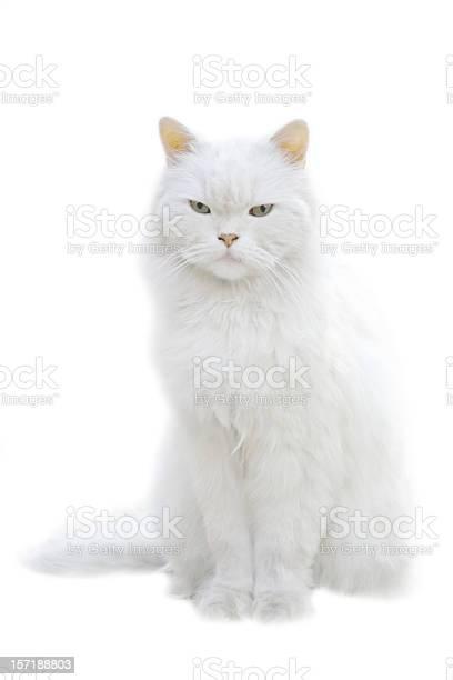 White fluffy cat sitting isolated on white background picture id157188803?b=1&k=6&m=157188803&s=612x612&h=abgxz2t zhsulstcctegun b8sh7erdj6weclukxgb4=