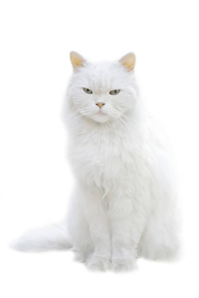 A white fluffy cat sitting isolated on white background stock photo