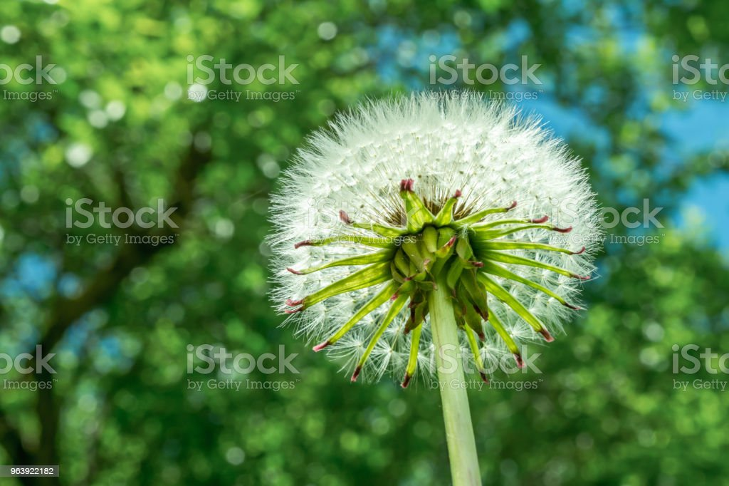 white fluffy dandelion on green vegetation background, close-up abstract background - Royalty-free Agricultural Field Stock Photo