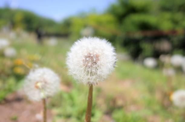 White fluffy dandelion seeds, Spring flower stock photo