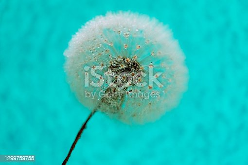 White fluffy dandelion with seeds close-up in water drops on a blue background with selective focus. Poster design, background, macro photography