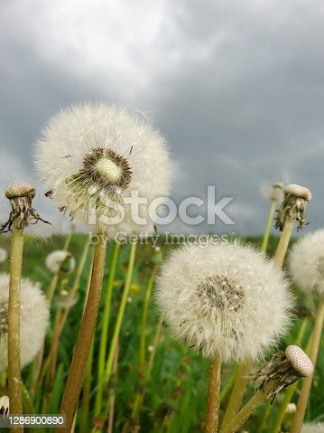 White fluffy dandelions macro with grass and grey cloudy sky background
