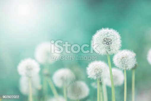 istock White fluffy dandelions, natural green blurred spring background, selective focus 902922022