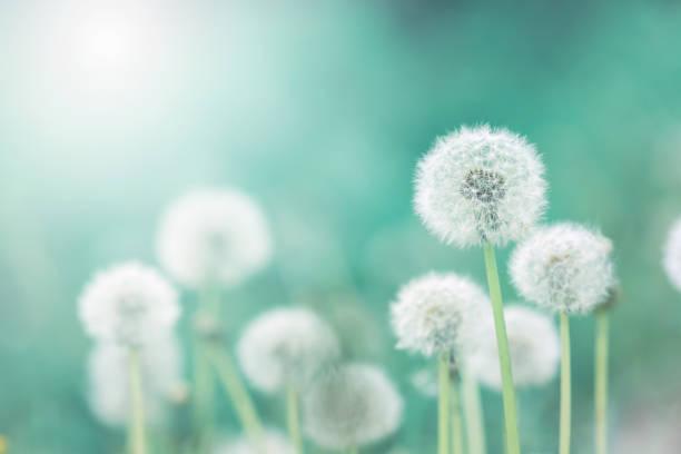 weiße flauschige löwenzahn, naturquelle grüne unscharfen hintergrund, selektiven fokus - löwenzahn korbblütler stock-fotos und bilder