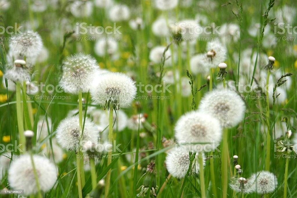 White fluffy dandelions standing among green leaves royalty-free stock photo