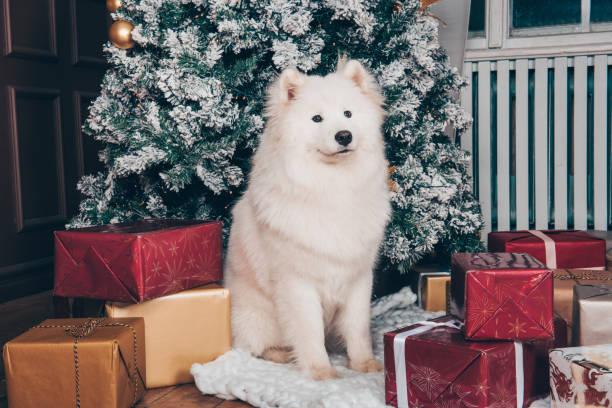 White fluffy dog Samoyed near Christmas tree stock photo