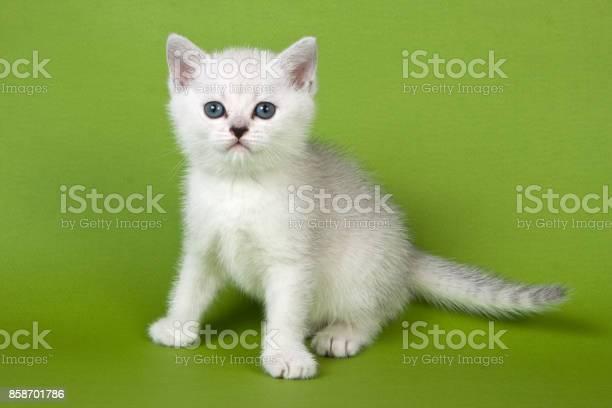 White fluffy kitten british on a green background picture id858701786?b=1&k=6&m=858701786&s=612x612&h=xybuuih3xbqq cy i6128epybdsrpvzxzh50 dlqd2c=