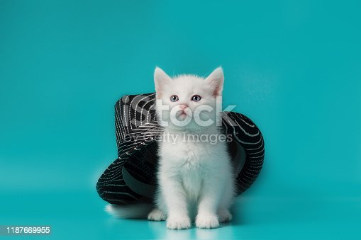 white fluffy little kitten under a black striped summer hat on a turquoise background