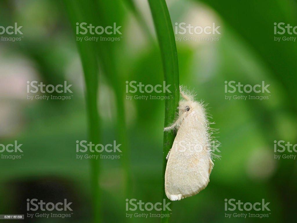 White Fluffy Moth stock photo
