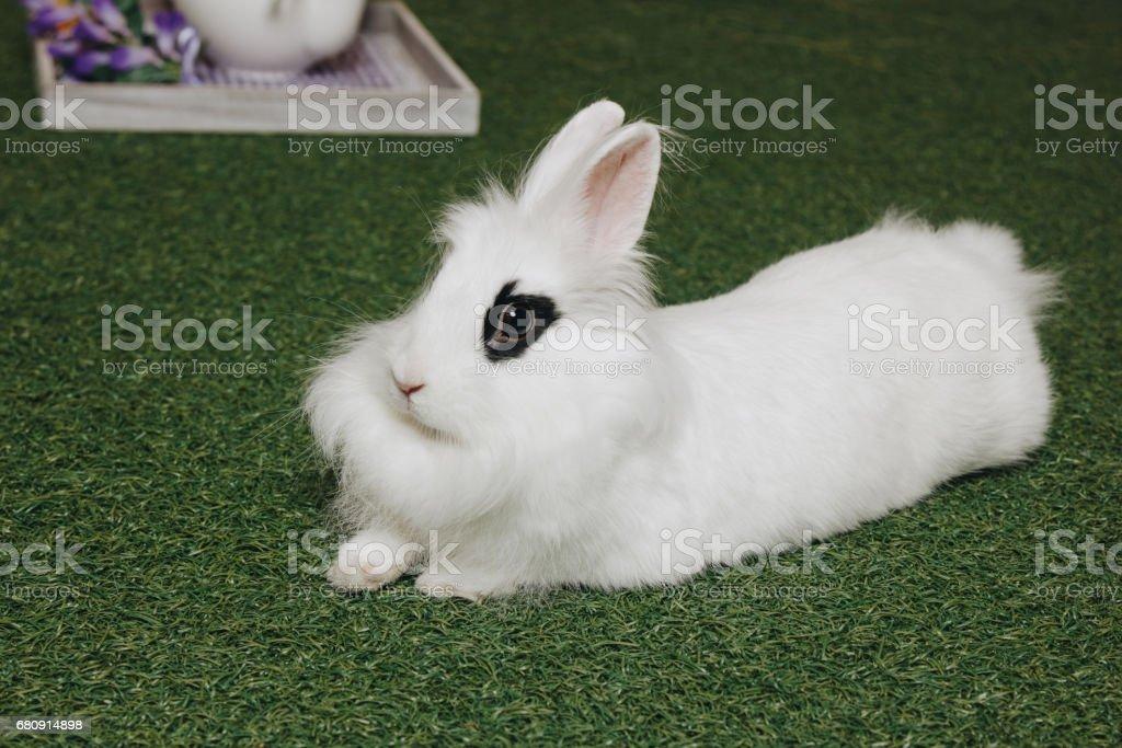 White fluffy rabbit on green grass royalty-free stock photo