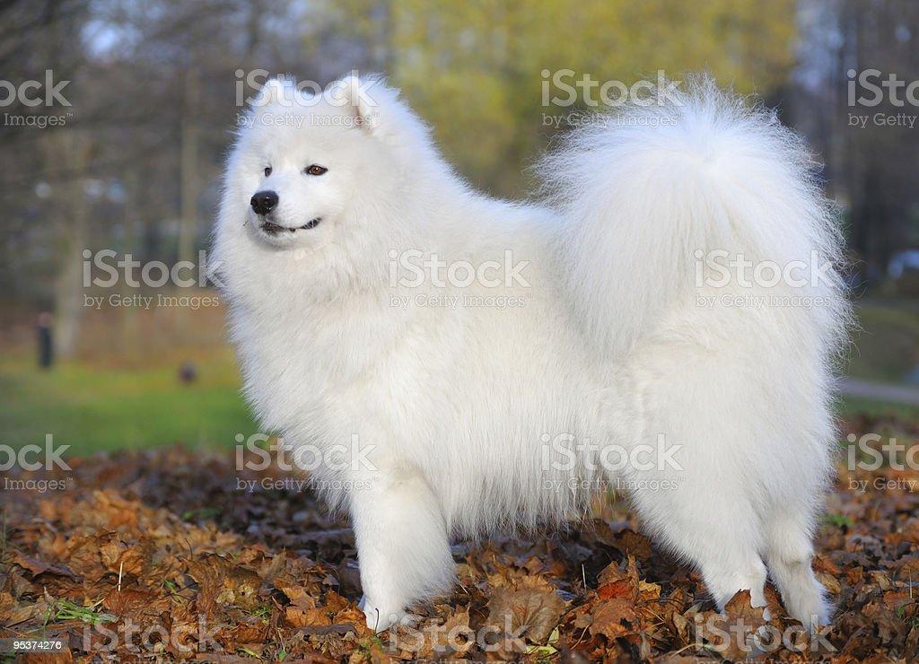 Samojeden Hund – Foto